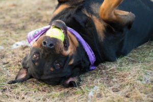 Best Minneapolis veterinarian for pitbulls and aggressive dogs